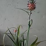 파인애플 나무/공기정화식물|