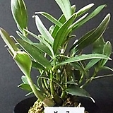 깅기아난복륜/부귀란/풍란/동양란/서양란/공기정화식물/나라아트|