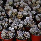 베이비핑거 다육 화분|Pachyphytum Machucae(baby finger)