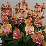 호접란.브라더로렌스.다시입고.신품종.(고급스러운색).색상예쁨.희귀종.잘나오지않는품종.꽃잎이 두껍다.