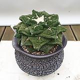 목단 Ariocarpus retusus 아프리카식물|