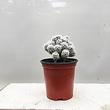 눈꽃 선인장 선반인테리어 미니식물|