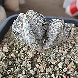 온즈카 자연군생 실생|Astrophytum myriostigma cv. ONZUKA