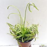 식충식물~긴잎 끈끈이주걱|