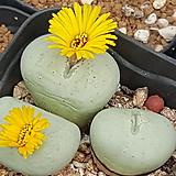 Conophytum flavum(플라붐)ssp 대형종 