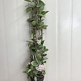 꽃피는 호야 #3 Hoya carnosa