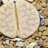 Lithops gracilidelineata ssp.(그락실리델리네이타) 