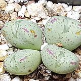 conophytum ssp (레오파르디눔) 