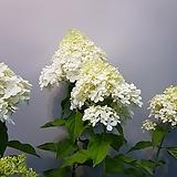 여름목수국  목수국|Hydrangea macrophylla