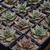 원종에보니 다육식물|Echeveria Agavoides Ebony