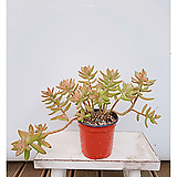 첨후엽변경 다육식물 철화|Sedum treleasei f. silver