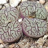 C. wittbergense ssp(위트버젠스) Conophytum Wittebergense