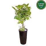 뱅갈고무나무 개원축하화분 화초 관엽 거실화분|Ficus elastica