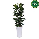 고무나무 사기분 개업축하화분 140~150cm|Ficus elastica