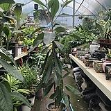 비파나무 대품 130-140|
