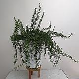 크리핑(꽃피는 로즈마리,대품)|Rosemary
