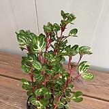 오로라페페 Sedum rubrotinctum cv.Aurora