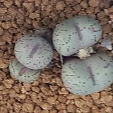 Conophytum uviforme praeparvum(프레파붐) 