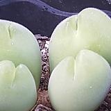 Conophytum pellucidum (파일로슬롬) 