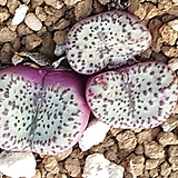 Conophytum obcordellum ssp(오브코델륨) 