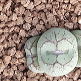 Conophytum ficiforme ssp (피시포르미) 