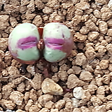 conophytum  pagaea 파가에 