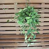 호야(로이드) Echeveria minima hyb Roid