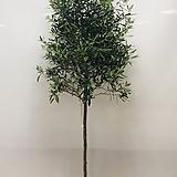 올리브나무-곧은외목대(특대품 동일품배송 )|