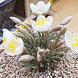 알스토니백화 수입 씨앗 10립 (From Africa) + 파종토 소분|Avonia quinaria ssp Alstonii