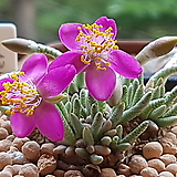 알스토니적화 수입 씨앗 10립 (From Africa)+ 파종토 소분|Avonia quinaria ssp Alstonii