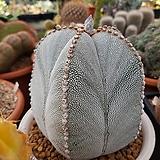 온즈카 난봉옥 10립 (SC002)|Astrophytum myriostigma cv. ONZUKA