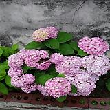 올썸머 뷰티 수국 1주|Hydrangea macrophylla