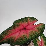 칼라디움 칼라데아 실내식물|