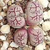 C. wittbergense ssp(위트버젠스) 15립 Conophytum Wittebergense