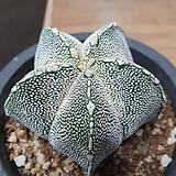 반야 온즈카 실생|Astrophytum myriostigma cv. ONZUKA