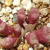 c obscrum auriflorum (아우리플로럼 핑크꽃) 