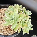 블렛블루아나금 군생|Echeveria bradburiana