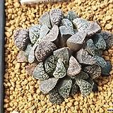 블루다이아몬드군생(분채배송)특가|