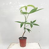 파키라 소품 포트 실내화초|