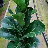 반려식물~떡갈나무|