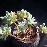 입전백금|Pachyveria scheideckeri var. Albo-Carinata