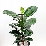 화학적독소제거 능력자 고무나무 실내식물 공기정화식물|Ficus elastica