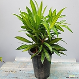 자메이카  자마이카    초특가  공기정화식물|