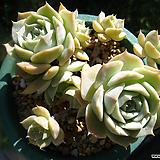 플뢰르블랑크0815|Echeveria Fleur Blanc