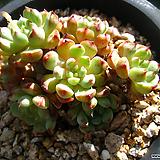 원종미니마(자연군생)0815-1|Echeveria Minima