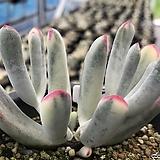 원종복랑금1175|Cotyledon orbiculata cv variegated
