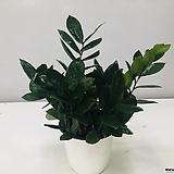 금전수(중품 )|Zamioculcas zamiifolia