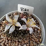 알스토니.백화 Avonia quinaria ssp Alstonii