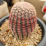 자태양 실생|Echinocereus rigidissimus Purpleus