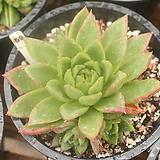 소후렌 자연군생 590815|Echeveria agavoides Prolifera